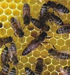 Matka pszczół Elgon