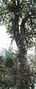 Drzewo zkłodą ipszczołami